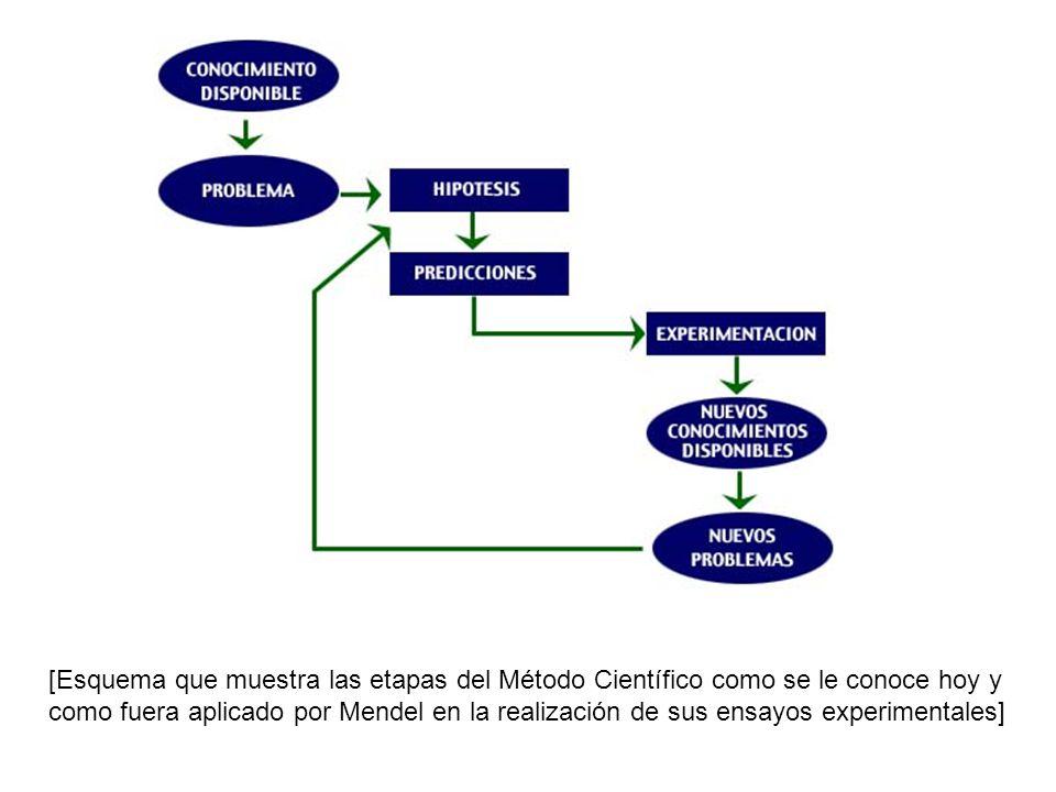 [Esquema que muestra las etapas del Método Científico como se le conoce hoy y como fuera aplicado por Mendel en la realización de sus ensayos experimentales]